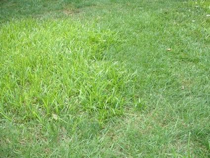 invasive grass taking over Kentucky bluegrass-dscf0003.jpg