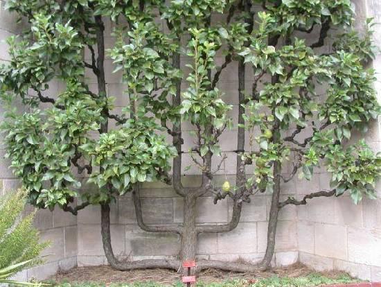 pruning trees...-dscn3598_espalieredpeartree_e.jpg