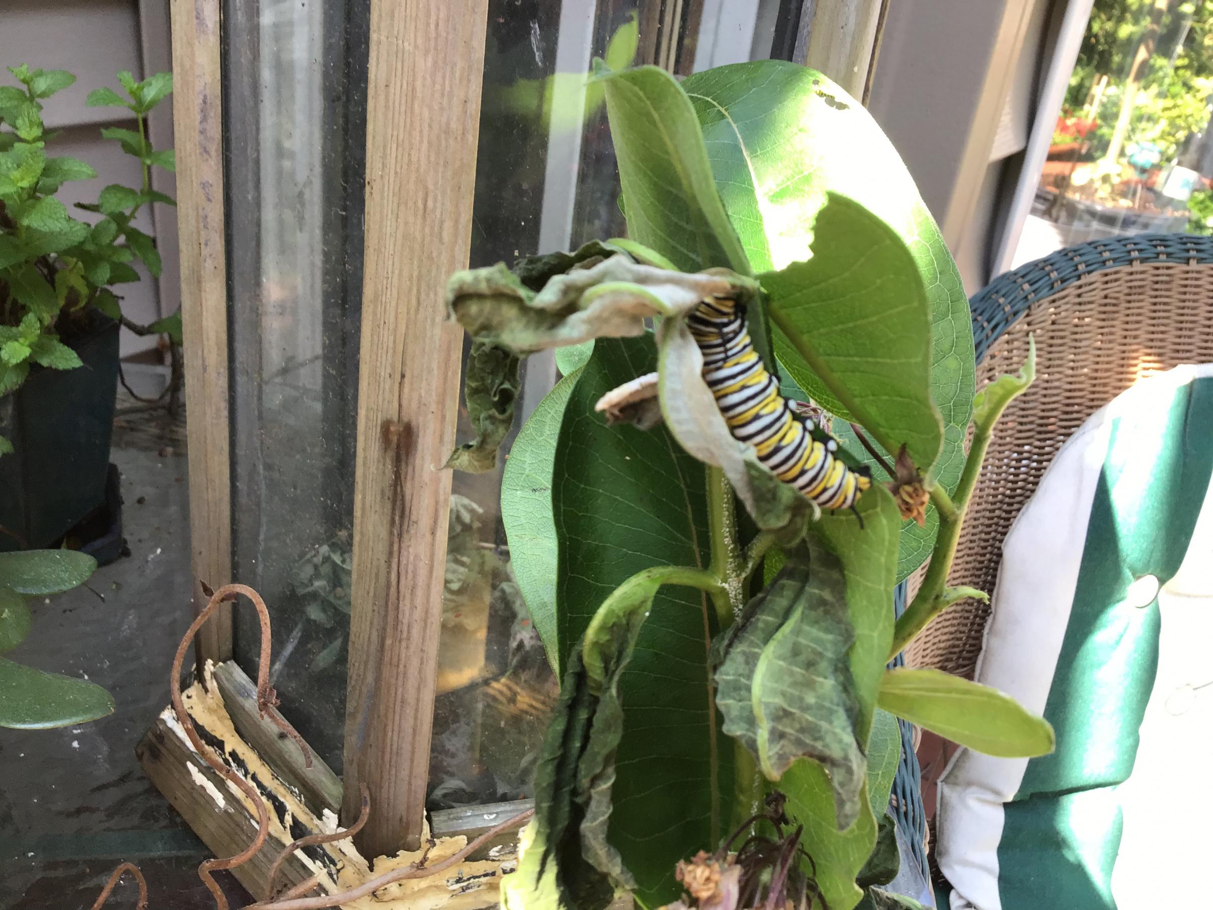Monarch Butterflies.-e9d582df-4c51-4f93-afb0-907d3ddea5b1.jpg