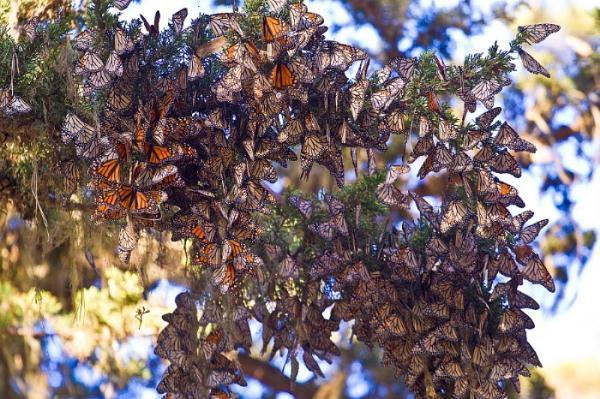 Monarch Butterflies.-f536f33e-8b38-4af5-99ef-ac77ae0aca81.jpeg