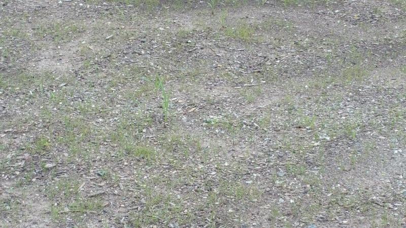Help- new grass not filling in-font-closeup-zoom.jpg