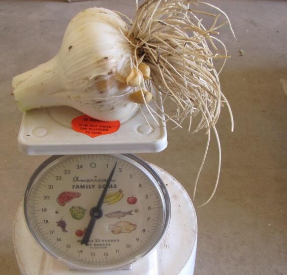When to Harvest Garlic in Zone 6?-garlic-1.5-lb.-6-2-12-.jpg.jpg