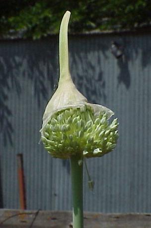 When to Harvest Garlic in Zone 6?-garlic-bolt-close-5-25-05.jpg