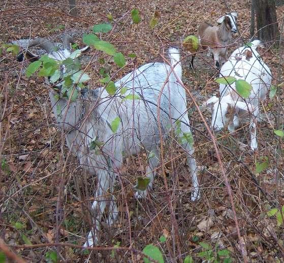 Hello-goatsinthewoods.jpg