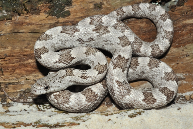 What Snake?-gray-rat.jpg