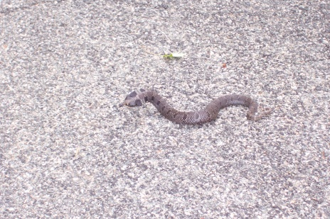 Snake!-hog-nose-2-.jpg