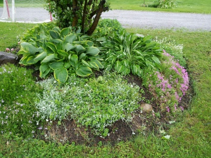Ground cover recommendations?-hosta2.jpg