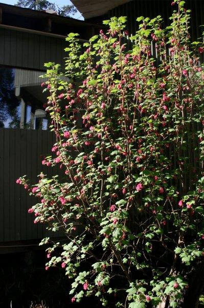 Gulf Island Building.-hummingbird-bush.jpg