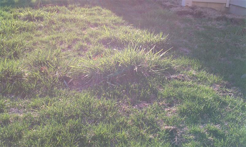 "another ""what is this evil grass"" thread?-imag0447-small-.jpg"