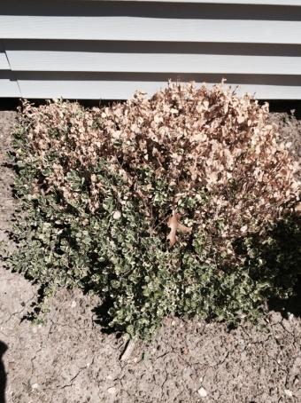 Replace shrubs or wait?-image-100382739.jpg