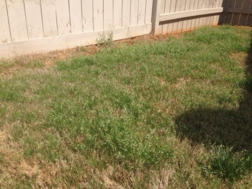 Another grassy weed invading my bermuda... Help!-image-1130671514.jpg