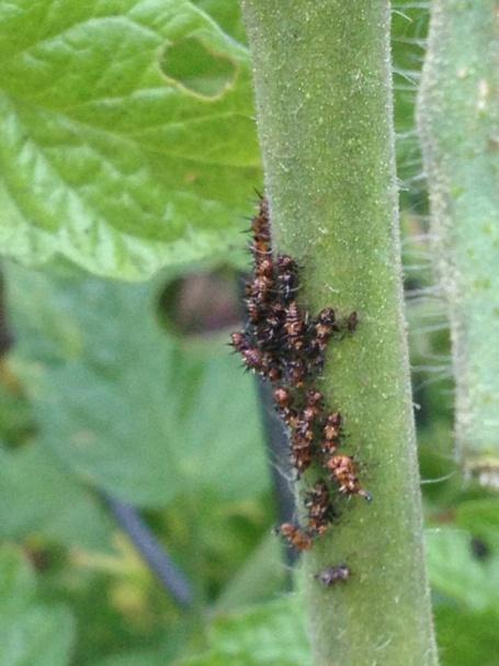 Pest on my tomato plant-image-121387680.jpg