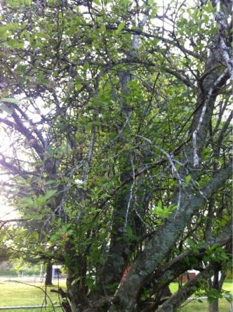 Stuff growing on apple tree-image-1455425357.jpg