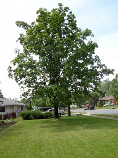 Sugar Maple with fungal growth...manageable?-image-170764665.jpg