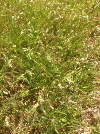 Another grassy weed invading my bermuda... Help!-image-1783493982.jpg
