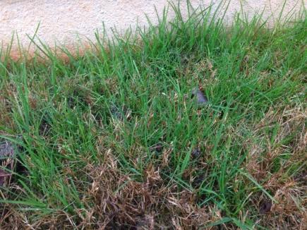 Help identifying grass invasion-image-191474344.jpg