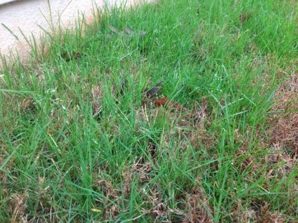 Help identifying grass invasion-image-2461419230.jpg