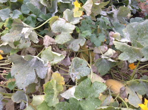 Whats killing my squash-image-2635416684.jpg