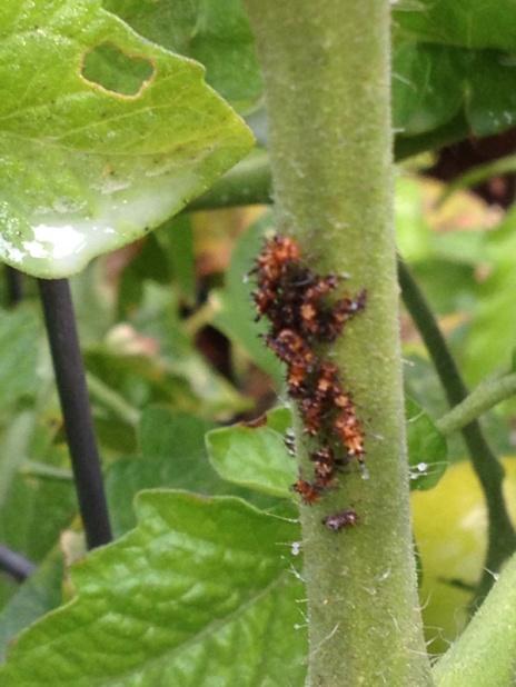 Pest on my tomato plant-image-2702891990.jpg
