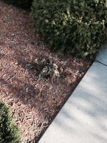 Replace shrubs or wait?-image-3283408458.jpg