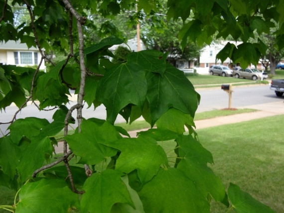 Sugar Maple with fungal growth...manageable?-image-3563945621.jpg