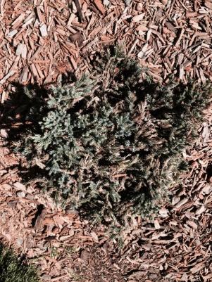Replace shrubs or wait?-image-3612525134.jpg