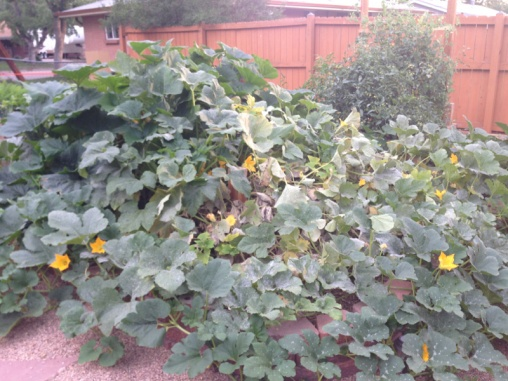 Whats killing my squash-image-3752463012.jpg