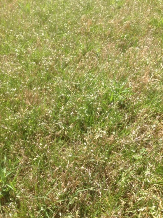 Another grassy weed invading my bermuda... Help!-image-4103094665.jpg