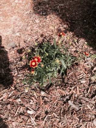 Will this Spirea shrub survive?-image-653835097.jpg