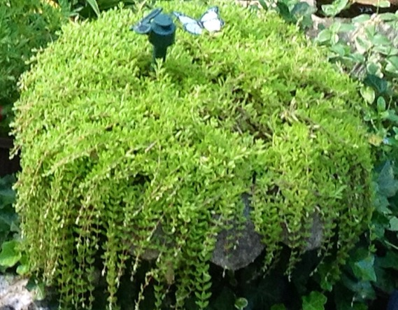 What is this perrenial ground cover?-image.jpeg