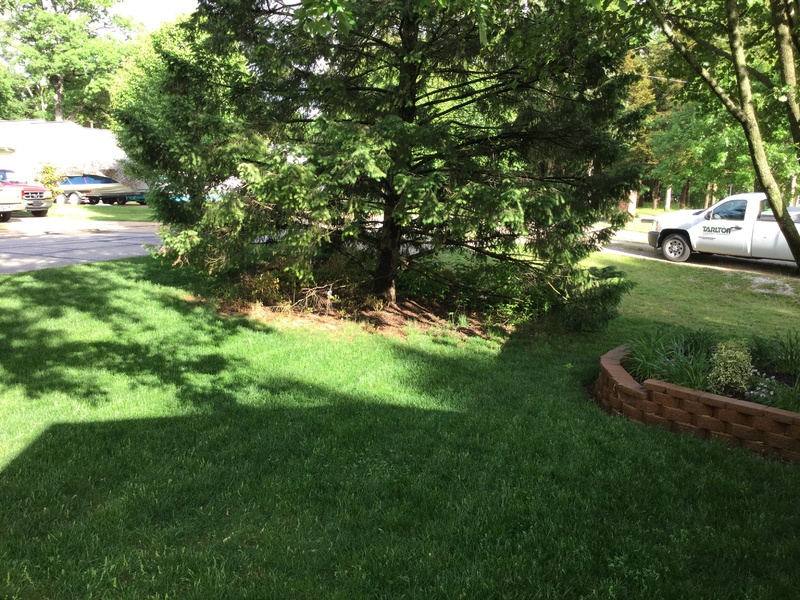 Trying To Clean Up Under Pine Tree Image Jpg