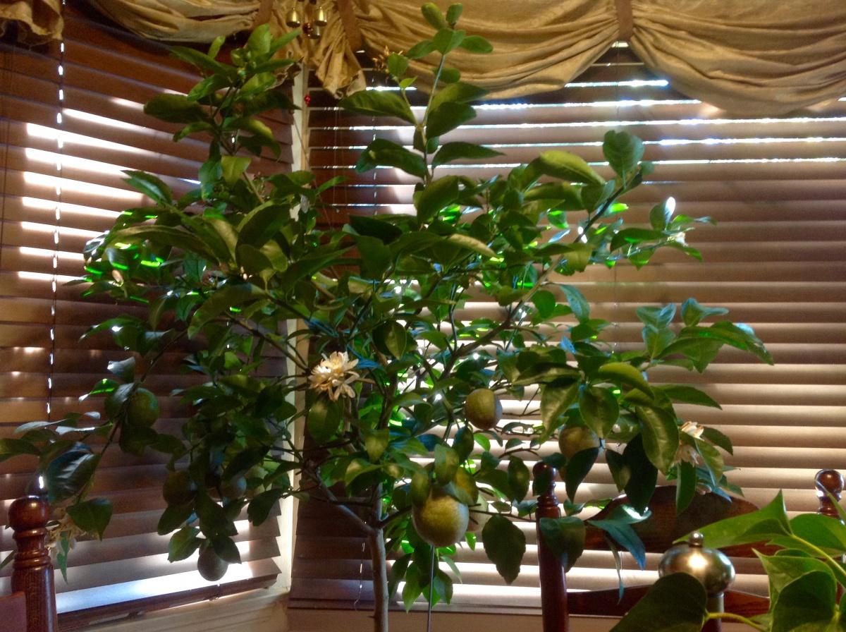 Lemon Tree-image.jpg