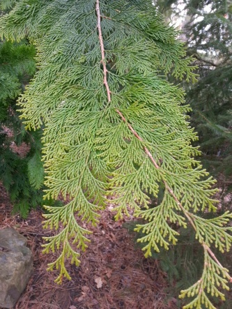 Identify This Tree?-image.jpg
