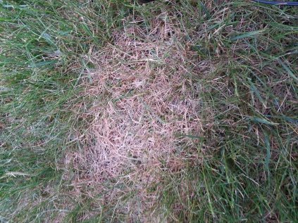 Lawn suddenly has brown spots-image.jpg