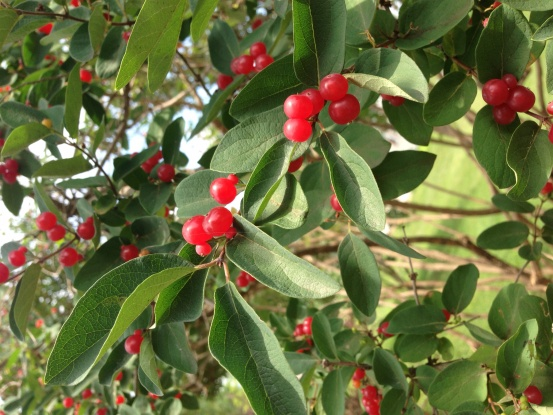 "Another ""Help identifying this shrub or bush with red berries!""-image.jpg"