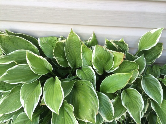 Something is Eating my Hostas-image.jpg