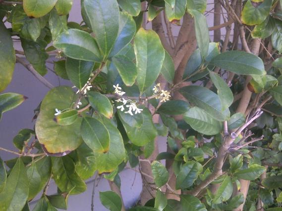 What is this fragrance shrub?-img-20130904-01972.jpg