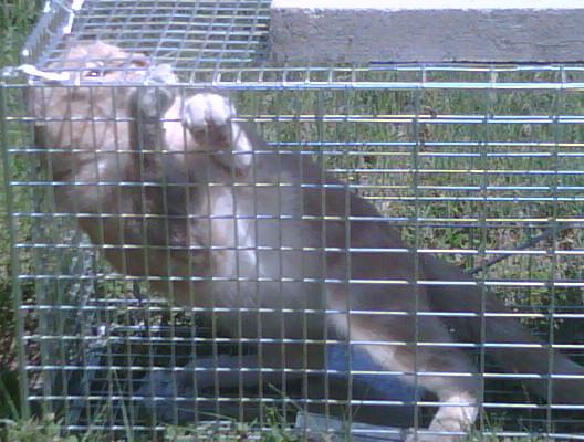Cat trap fever-img00086-20090519-1207.jpg