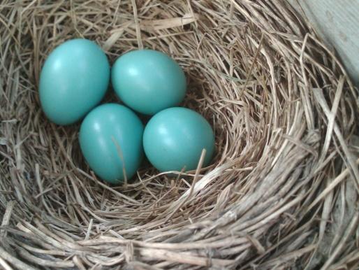 nesting-img00117-20120518-1210.jpg