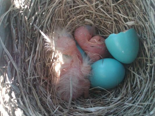 nesting-img00152-20120521-1146.jpg