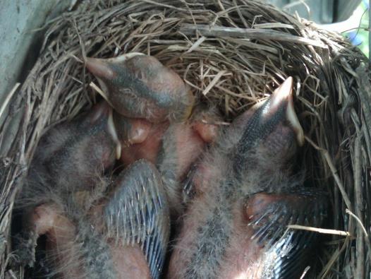 nesting-img00190-20120526-1410.jpg
