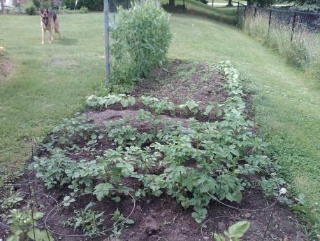 Trash Can Kennebec Potatoes in Zone 6-img00273-20120618-1559-1-.jpg