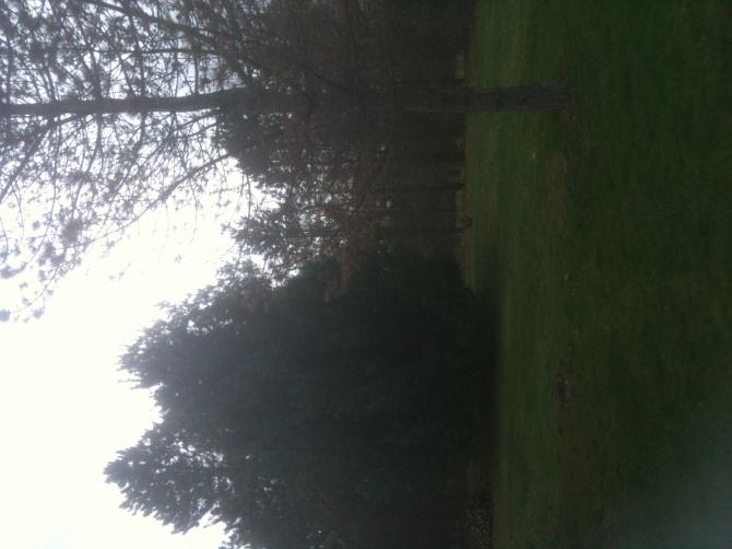 Pine trees .... disease?-img_0268-1-.jpg