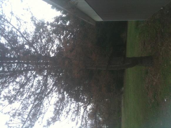 Pine trees .... disease?-img_0269-1-.jpg