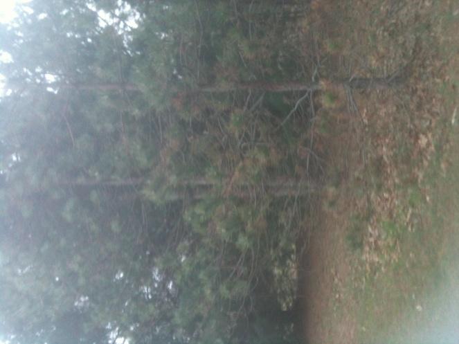 Pine trees .... disease?-img_0270-1-.jpg