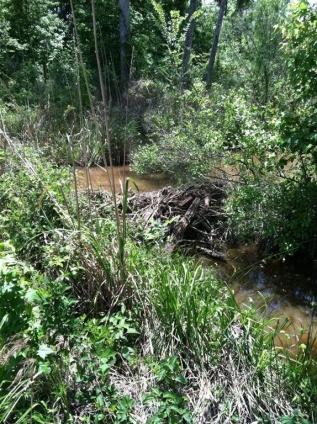 Dam Beavers-img_0487.jpg