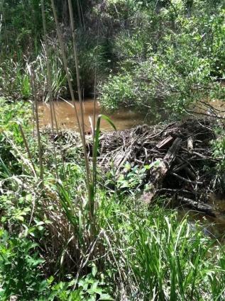 Dam Beavers-img_0489.jpg