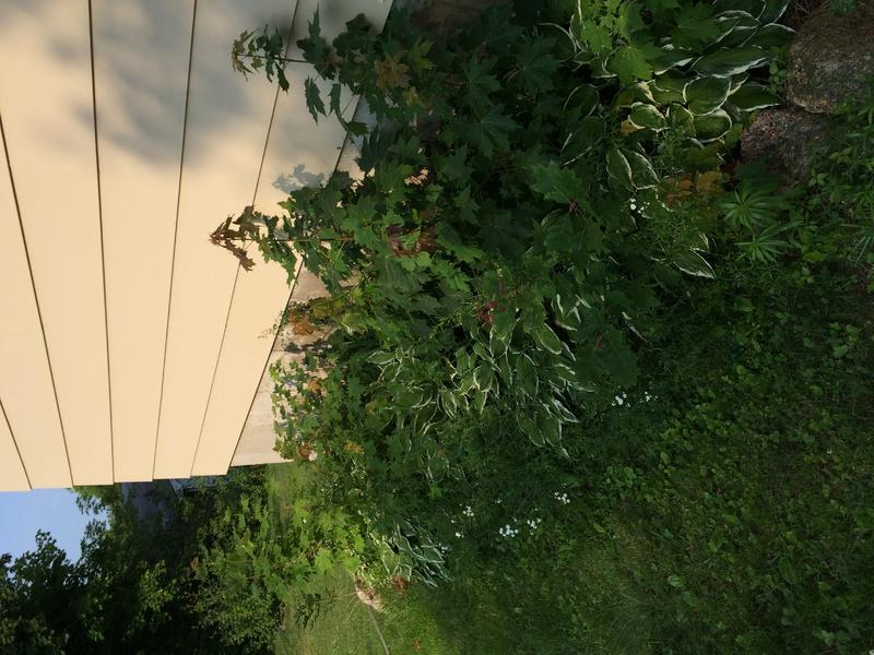 Plants overgrowing hostas-img_0973.jpg