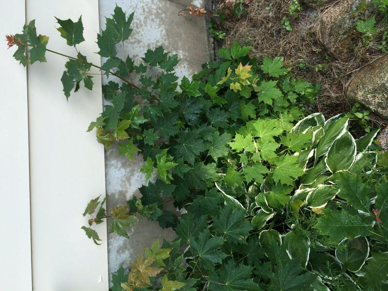 Plants overgrowing hostas-img_0974.jpg