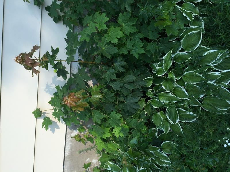 Plants overgrowing hostas-img_0975.jpg